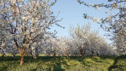 Wall Mural - Captivating view of garden with blooming cherry trees on the sunny day. Concept of the ecology. Scenic footage of spring time.