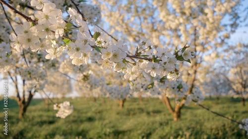 壁紙(ウォールミューラル) Captivating view of garden with blooming cherry trees on the sunny day. Concept of the ecology. Scenic footage of spring time.