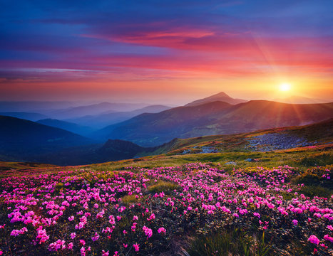 Charming pink flower rhododendrons at magical sunset. Location Carpathian mountain, Ukraine.