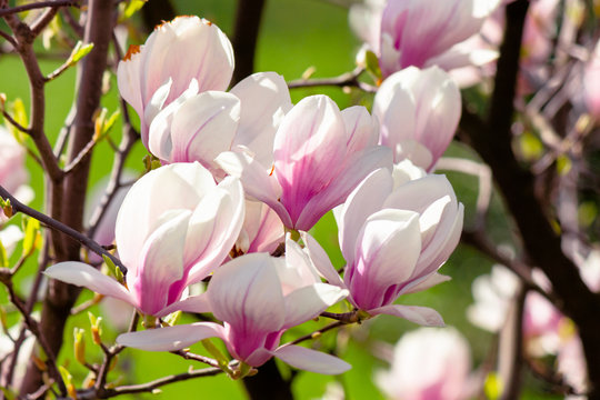 magnolia flowers closeup on a branch.