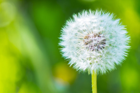white fluffy dandelions in the tall green grass