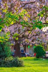 Paulownia tomentosa tree in blossom
