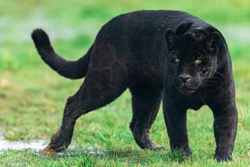 Poster Leopard Portrait of a black jaguar in the forest