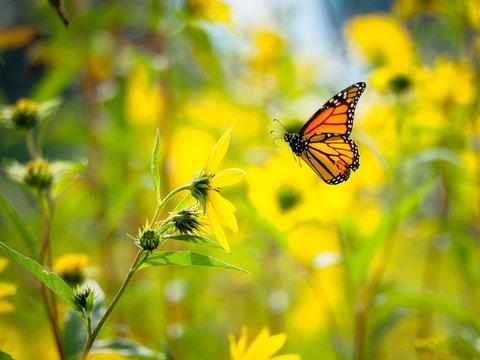 monarch butterfly flying in field of yellow flowers