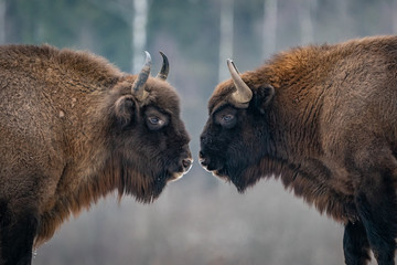 Deurstickers Bison European Bisons, Russia