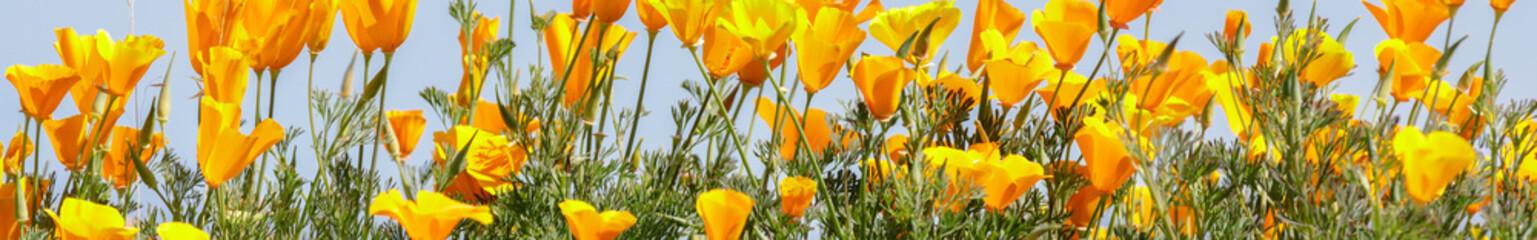 California Poppies in bloom. Santa Clara County, California, USA.