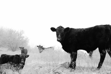Wall Mural - Angus cows and calves in black and white, agriculture beef cattle herd.