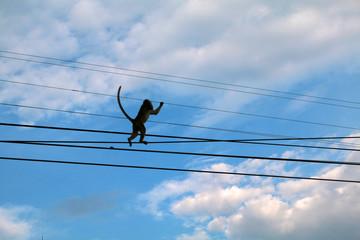 Photo sur Toile Singe singe en liberté sur des fils électriques dans la ville de lopburi en thaïlande