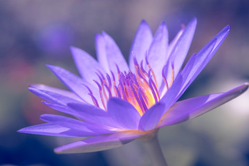 Stores photo Nénuphars Purple water lily flower blooming in the pond.