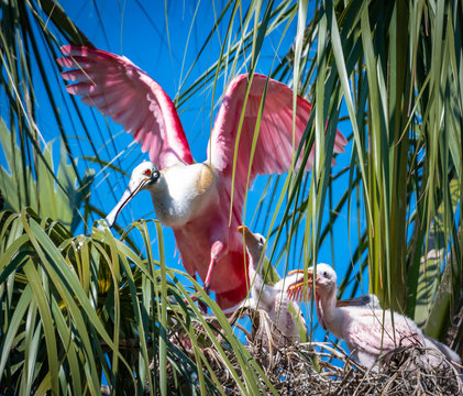 Roseate Spoonbill feeding chicks in nest site in St. Augustine Florida.