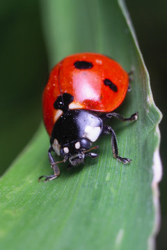 A closeup macro picture of a red ladybug sitting on a green leaf.