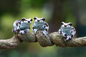 Three amazon milk frog on branch, Panda Bear Tree Frog, animal closeup