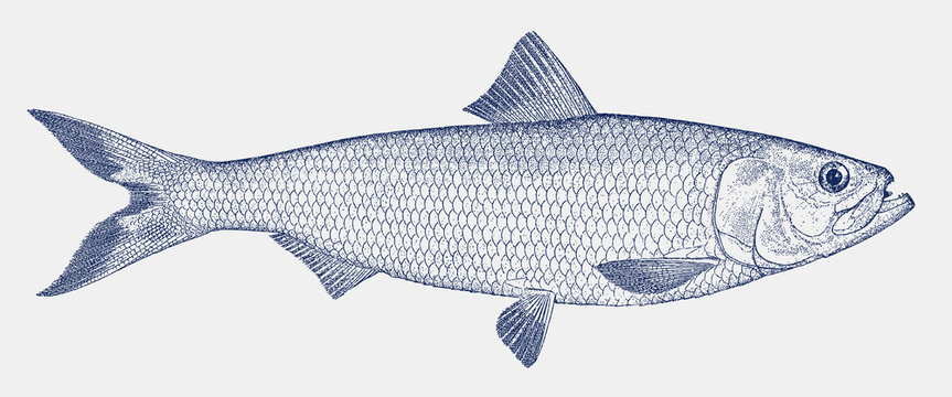 Skipjack shad alosa chrysochloris, a fish from the Gulf of Mexico drainage basins