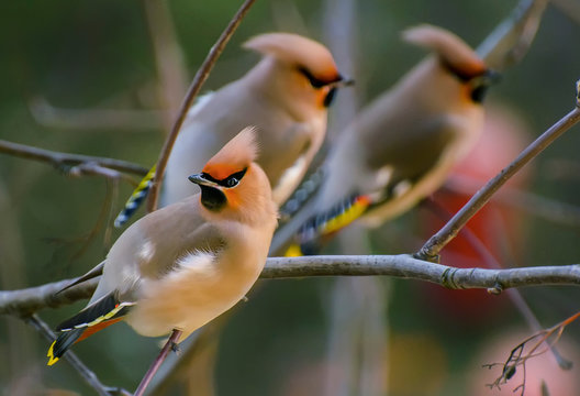 Waxwing is a songbird of the order of the passerine family of the waxwing family.