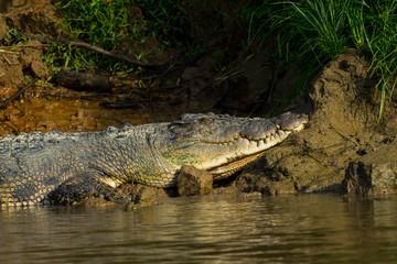 Garden Poster Crocodile Leistenkrokodil (Crocodylus porosus). Unterwegs am Kinabatangan, Sabah, Borneo.
