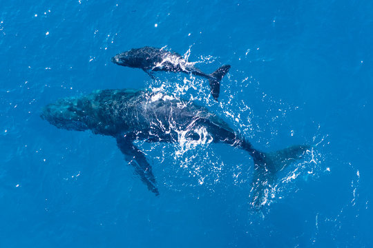 Humpback whales photographed with drone off the coast of Kapalua, Hawaii. Mother whale and her calf splash in the warm Pacific waters as two dolphins join in on then fun.