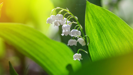 Fotobehang Lelietje van dalen Lily of the valley (Convallaria majalis), blooming in the spring forest, close-up