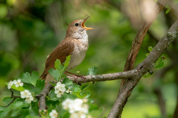 Male Common nightingale (Luscinia megarhynchos) sits on a branch.