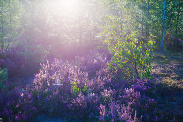 Printed kitchen splashbacks Eggplant Forest floor of blooming heather flowers in a morning haze, young fir and birch trees close-up. Latvia