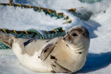 An adult harp seal or harbor seal with light grey fur and dark spots. The animal has its head up in the air looking to the side as it lays on ice. The seal has dark eyes, flippers and long whiskers.
