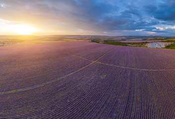 Wall Mural - Aerial meadow dig panorama of lavender on sunset.