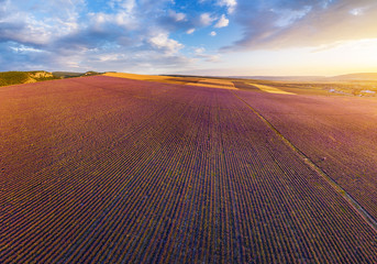 Fototapete - Aerial meadow dig panorama of lavender on sunset.