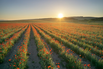 Wall Mural - Rows of poppies flowers at sunset.