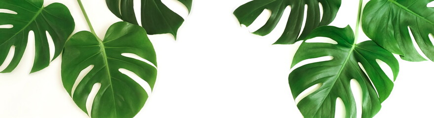tropical green monstera leaves , branches pattern isolated frame banner on a white background. top view.copy space.abstract.