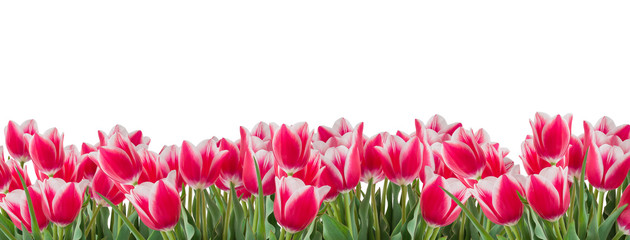 Tulips pink and white flowers with green leaves isolated on white background. Horizontal copy...