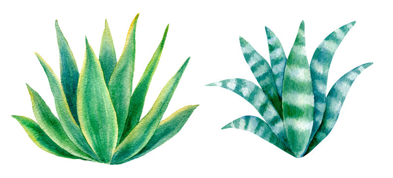 Watercolor  Agave Plants Set Isolated on White Background.  Hand Drawn Illustration Elements