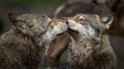 Photo sur Toile Loup Les loups gris