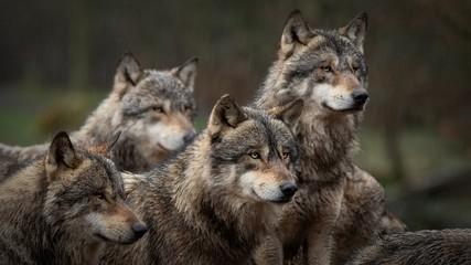 Photo sur Plexiglas Loup Les loups gris