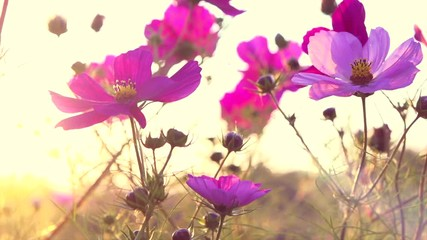 Fotoväggar - Cosmos Flower blooming in a garden over sunset sky. Beautiful red and pink colorful flowers growing on field. Spring and Summer nature scene. Sun flare. Slow motion 4K UHD video, closeup