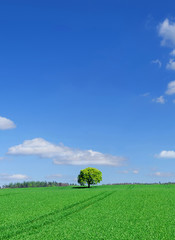 Wall Mural - Spring view, lonely tree among green fields