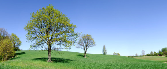 Spring view, lonely trees among green fields