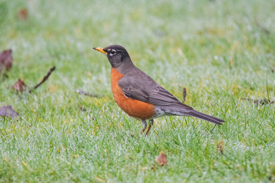 A picture of American robin perched on the ground.   Vancouver BC Canada