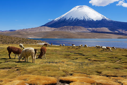Alpacas (Vicugna pacos) graze at the Chungara lake shore at 3200 meters above sea level with Parinacota volcano at the background in Lauca National park near Putre, Chile.