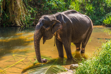 Wall Mural - View at the Asian Elephant (Elephas maximus) in Sri Lanka