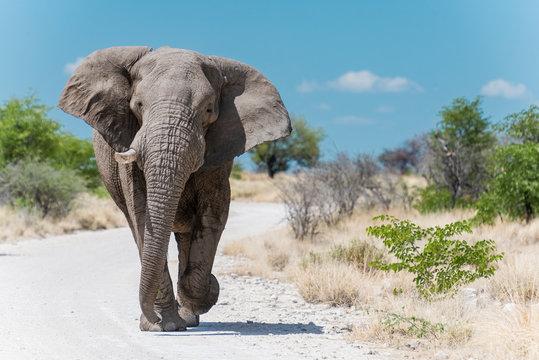 Elefant, Etosha National Park Namibia