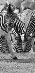 Aluminium Prints Cebras bebiendo en una charca en Namibia