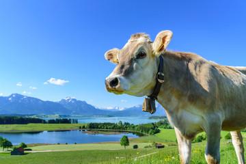Wall Mural - Neugieriges Braunvieh auf einer herrlich gelegenen Weide im ostallgäuer Alpenvorland