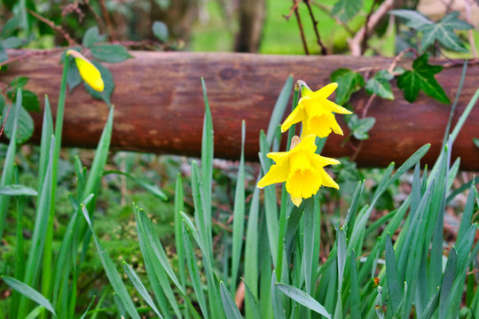 Bright yellow daffodils blooming early ready for st davids day