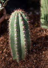Free-standing small pointed cactus in a shadow