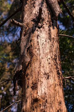 Das Waldsterben durch Dürre am Beispiel einer deutschen Kiefer