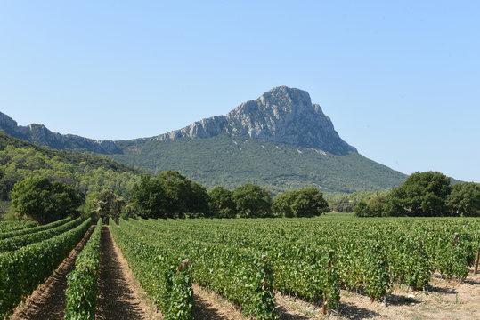 Vignes Le Pic St Loup Hérault France