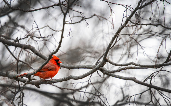 A bright red Cardinal bird is perched on a branch of a bare tree due to winter.