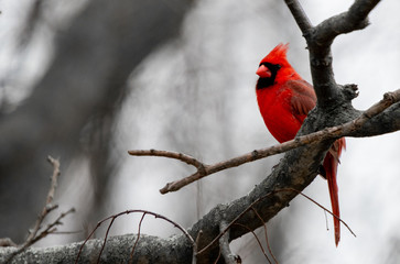 A bright red Cardinal bird is perched on a branch of a bare tree due to winter. Fotomurales