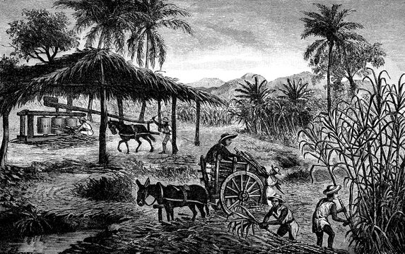 Harvest time, workers in a sugar cane plantation in Cuba