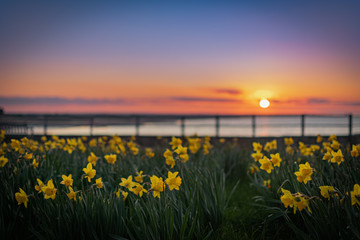 Yellow daffodils with sunset background