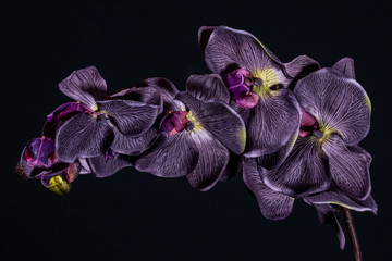 Tuinposter Orchidee Violet orchid flower on black background close up..